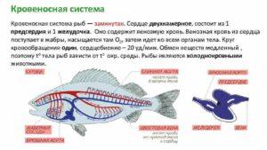 В сердце рыб кровь течет