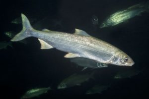 Нельма белая рыба