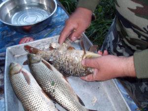 Как почистить живую рыбу