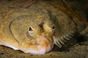 Сколько глаз у рыбы камбалы