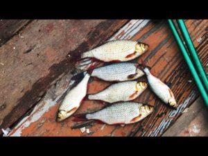 Ловля красноперки весной на поплавочную удочку видео