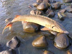 Можно ли есть рыбу из реки оки