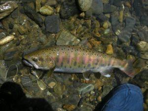 Рыба подкаменка сахалин