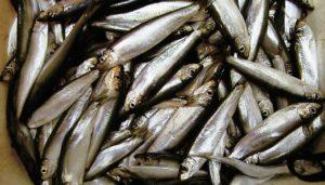 Рыба шпрот фото и описание