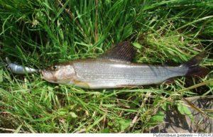 Какая рыба есть в реке ай