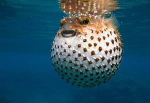 Рыба шар википедия