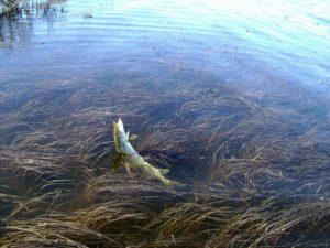Ловля щуки в водорослях