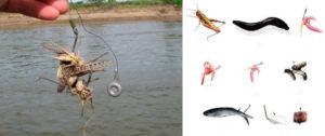 Как ловить сома на саранчу