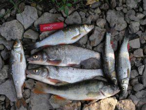 Какая рыба водится в реке красивая меча