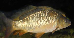 Зеркальный карп фото рыба