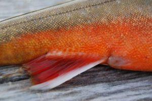 Белая рыба с красным брюхом