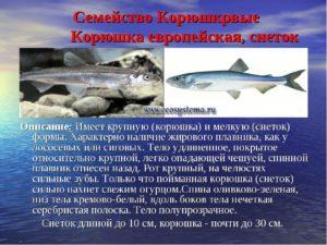 Рыба снеток описание