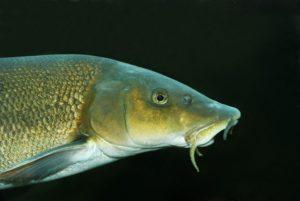 Усач что за рыба