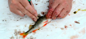 Как правильно чистить речную рыбу видео