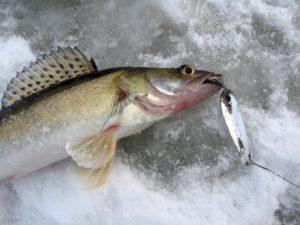 Техника ловли судака зимой видео на блесну