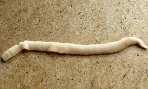Плоский белый червь в леще