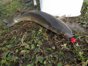 Пеленгас рыба как ловить