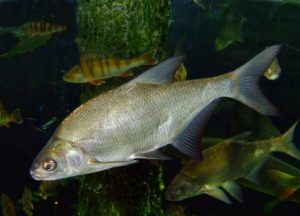 Пресноводные рыбы белоруссии