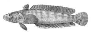 Нототения мраморная рыба