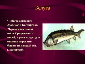 Белуга рыба места обитания