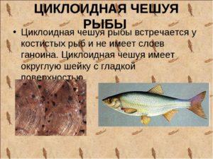 Виды чешуи у рыб википедия