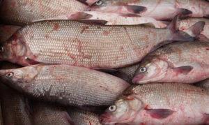 Рыба в хмао виды