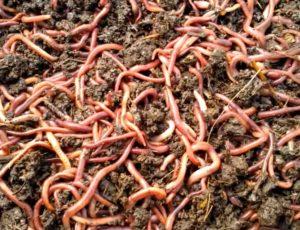 Можно ли замораживать червей для рыбалки