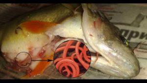 Солитер в рыбе окунь