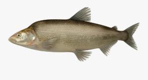 Где обитает рыба муксун