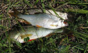 Рыбалка на чебака в августе