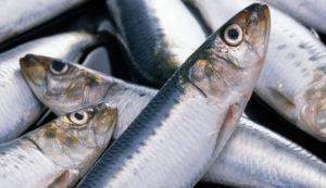 Бешеная селедка что за рыба