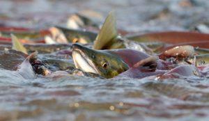 Ловля лосося на камчатке во время нереста