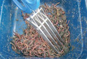 Прикормка из червей
