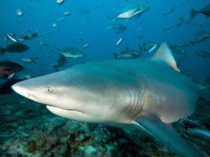 Акулы кто они млекопитающие или рыбы