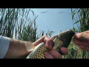 Белый амур ест камыш видео