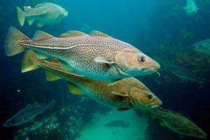 Северная промысловая рыба