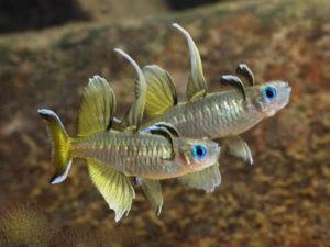 Синеглазка рыба фото
