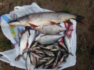 Какая есть рыба в северной двине