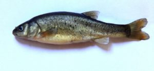 Виды мелкой речной рыбы