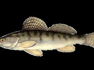 Речная рыба похожая на судака