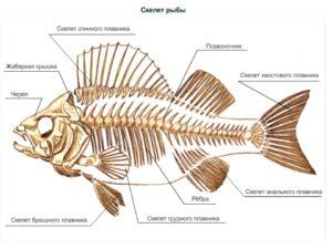 Что такое хребет у рыбы