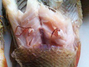 Можно ли есть рыбу с опарышами