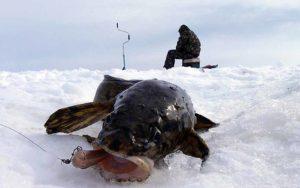 Ловля налима в красноярске зимой места