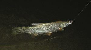 Ловля язя ночью