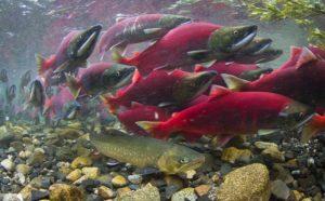 Рыба сем лососей