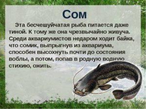 Сом рыба фото описание