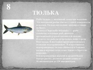 Тюлька это морская рыба или речная
