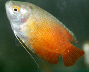 Миксоспоридиоз аквариумных рыб