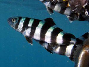 Лоцман рыба википедия