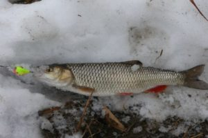 Как ловить голавля зимой на маленькой речке